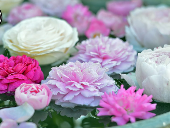 Rosen im Juni-August durch Stecklinge vermehren/selber ziehen