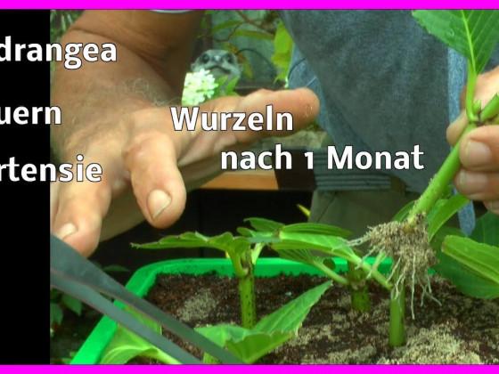 Hortensien sind in 1 Monat bewurzelt und werden umgepflanzt
