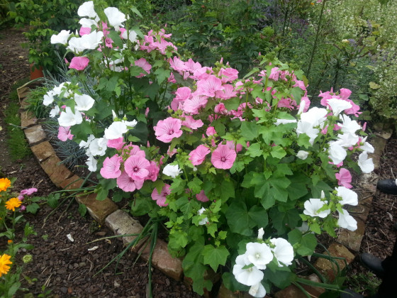 Wunderschöne Malve im Garten 01-05
