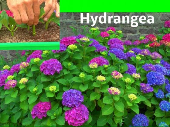 Hortensie Hydrangea Stecklinge die Vermehrung der Bauernhortensie