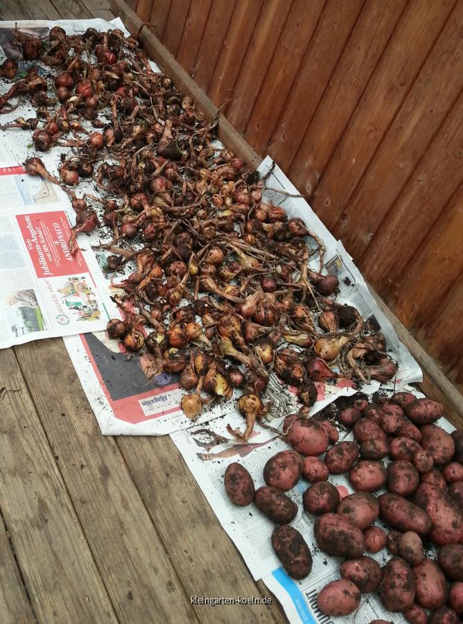 Kartoffel und Zwiebelernte im Garten 016